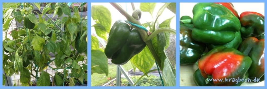 De sidste grønne pebre fra drivhuset